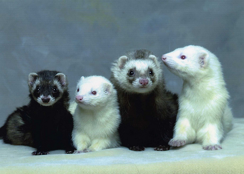 ferrets-as-pets
