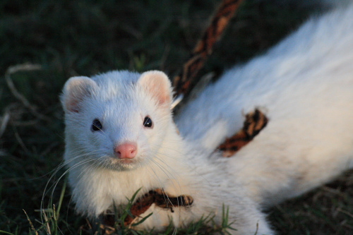 ferret-info