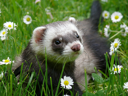 Ferret Training