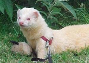 Ferrets as Pets