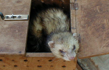 5 Cool Facts that Are All About Ferrets