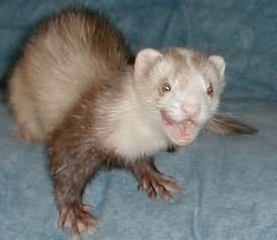5 Steps to Effectively Train Ferrets Not to Bite