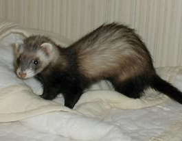 4 Tricks to Remember in Caring for Ferrets