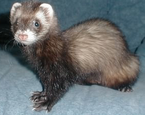 4 Effective Methods in Taking Care of Ferret Pets