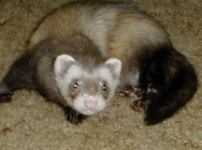 Adrenal Disease as One of the Top Ferret Health Problems