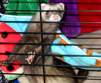 Ferret Proofing a Room Using 4 Effective Tips