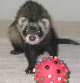 5 Types of Ferret Toys to Remember