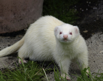 Learn How to Train a Ferret Using 5 Simple Steps