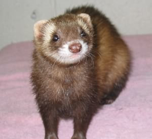5 Ferret Facts for Starting Ferret Owners
