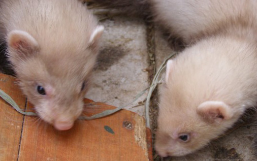 Baby Ferrets for Sale- Where and How to get them