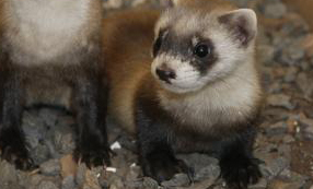 4 Cool Black-footed Ferret Facts for Kids
