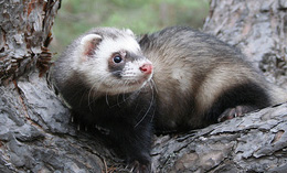 Caring for Ferrets in 4 Easy Steps