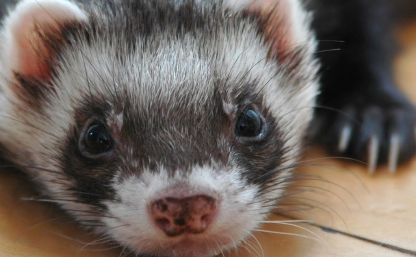 Top 4 Causes of Ferret Weight Loss