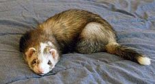 5 Ferret Proofing Tricks from the Experts