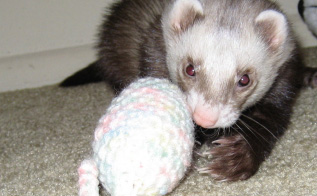 Raise Happy Pets with the Help of Ferret Toys