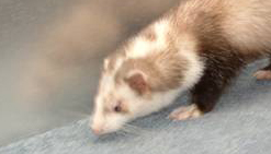 7 Great and Interesting Facts about Ferrets