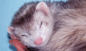 Lessen Ferret Smell with These 4 Remedies