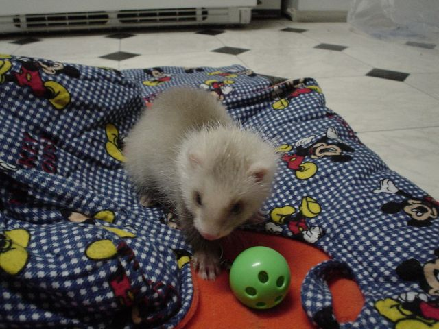 5 Effective Steps in Ferret Potty Training