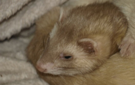 5 Point Plan in Taking Care for Sick Ferrets