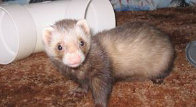 Top Ferret Care Tips as Given by Pros