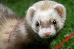 5 Tricks in Training Ferrets Not to Bite